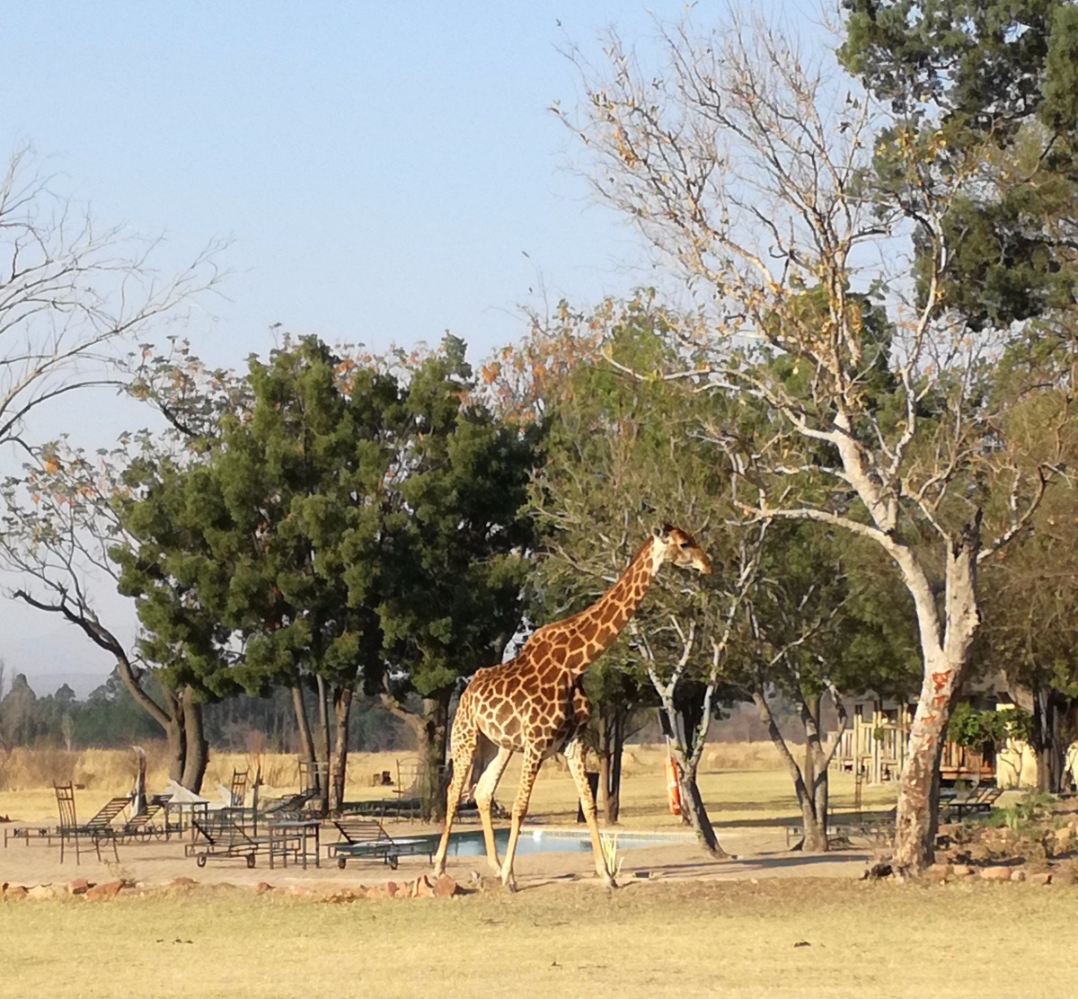A giraffe near the swimming pool