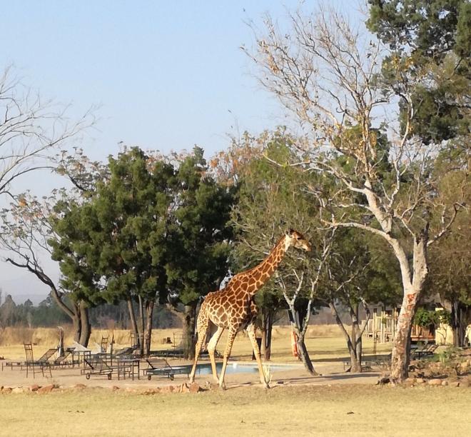 A giraffe near the swimming pool