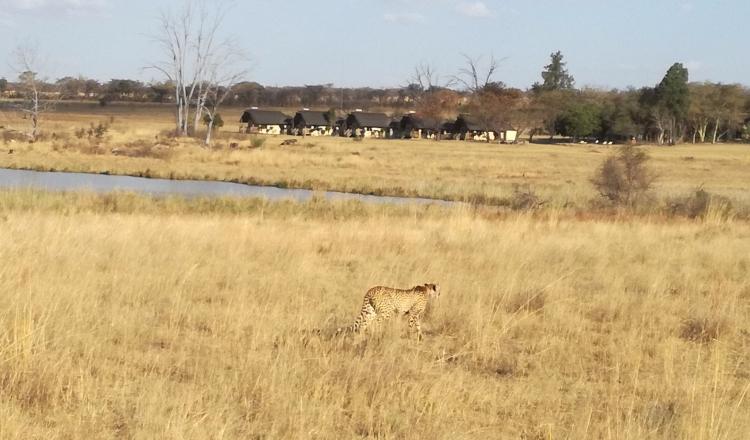 A Cheetah mum and three cubs trailing behind
