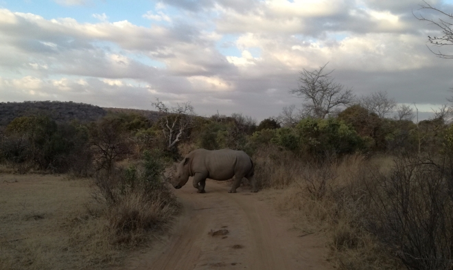 A rhino crossing the path